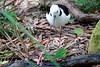 Black-winged Stilt, Corrumbin Sanctuary, QLD
