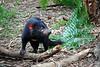 Tasmanian Devil, Corrumbin Sanctuary, Qld