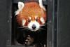 Crumbs? What crumbs?<br /> Red panda, Melbourne Zoo