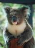 Koala, Healesville Sanctuary, Victoria