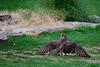 Mine!  All Mine!<br /> Brown falcon, Healesville Sanctuary
