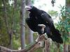 Wedge-tailed Eagle, Healesville Sanctuary