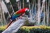Macaw at Corrumbin Sanctuary, Queensland