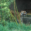 You may remember the incident where a tiger killed one person and injured others on a Christmas day. This could be the same one? Somebody was bothering the tiger.