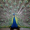 peacock.( Pavo cristatus) This was a hard shot because that darn bird would not stand still. It was constantly running around, twisting to the right or to the left. So, I was able to time it right as it was twisting. Shot at San Francisco Zoo.