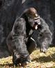 Silverback Gorilla - Ivan