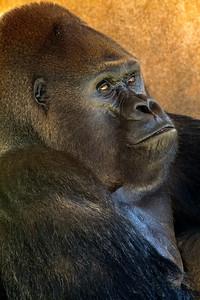 Lowland Gorilla_3565