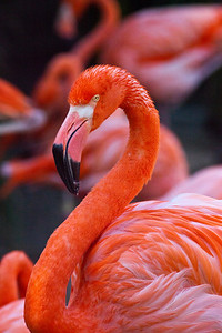 Flamingos_3585
