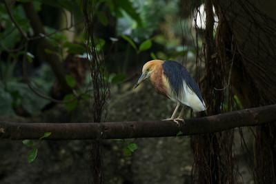 Java Pond Heron