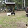 running musk ox