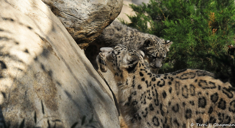 Snow Leopard mother, Georgina, with one of her cubs getting ready to pounce on her back