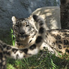 Snow Leopard mother, Georgina