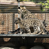 Snow Leopard mother, Georgina, and her two cubs