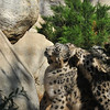 Snow Leopard mother, Georgina, and one of her cubs taking a tumble on top of her
