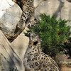 Snow Leopard mother, Georgina, and one of her cubs