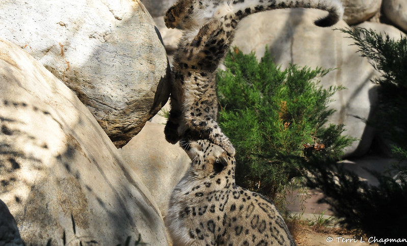 Snow Leopard mother, Georgina, and one of her cubs taking a tumble on top of her head