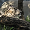 Snow Leopard mother, Georgina, with one her cubs getting ready to pounce on her