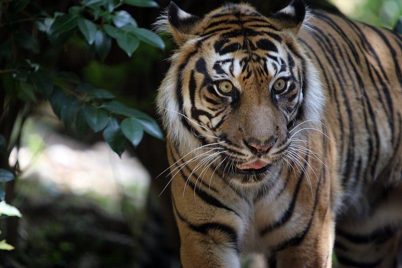 USA, GA, Georgia, Atlanta, Zoo Atlanta, Cat, Sumatran tiger (Panthera tigris sumatrae)