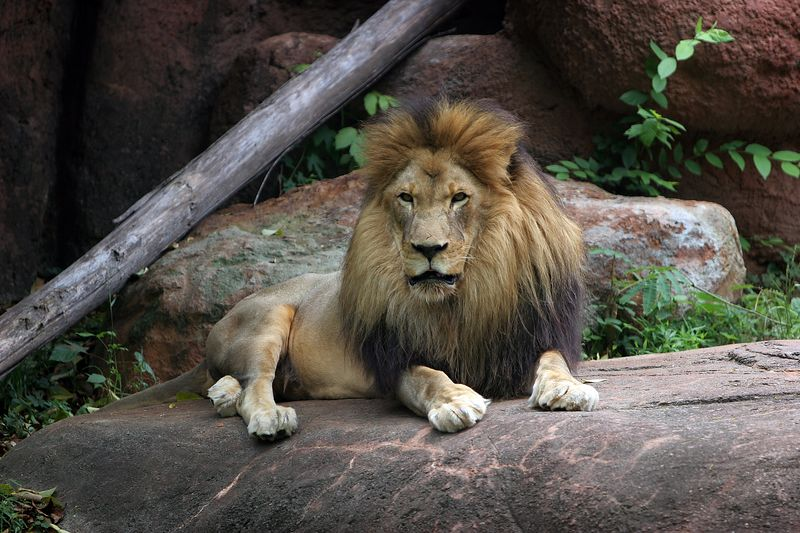 USA, GA, Georgia, Atlanta, Zoo Atlanta, African Lion, Panthera leo krugeri