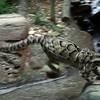 USA, GA, Georgia, Atlanta, Zoo Atlanta, Cat, Clouded Leopard, Neofelis Nebulosa, Moby
