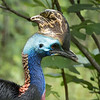 Double wattled Cassowary-005