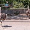 Ostrich-002