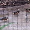 African pygmy goose-004