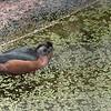 African pygmy goose-202