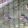 African pygmy goose-203