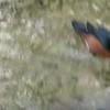 African Pygmy Goose-201