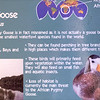 African pygmy goose-001