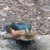 African pygmy goose-003