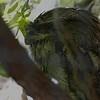 Tawny frogmouth-201