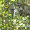 Tawny frogmouth-002