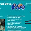 Jambu fruit dove-001
