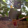 Black naped fruit dove-004