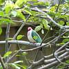 Jambu fruit dove-009