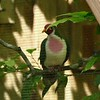 Jambu fruit dove-203