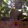 Black naped fruit dove-003