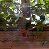Black naped fruit dove-002