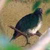 Jambu fruit dove-004