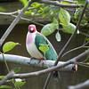 Jambu fruit dove-005