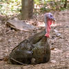 Eastern wild turkey-003