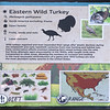 Eastern wild turkey-001