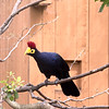 Lady Ross's turaco-002