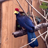 Lady Ross's turaco-003