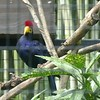 Lady Ross's turaco-203