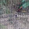 Buff crested bustard-203
