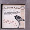 Blacksmith plover-001
