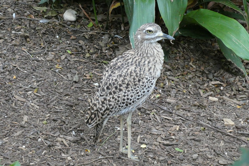 Cape thick-knee-006